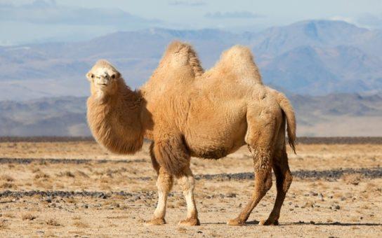зачем верблюду горб - фото 8