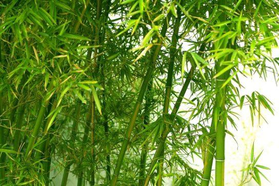 bambuk