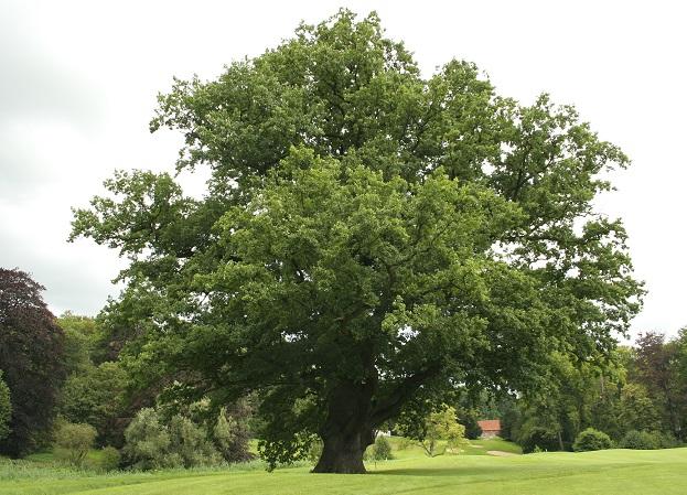 Стариный дуб