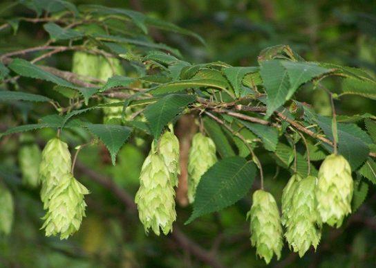 Дерево граб - фото 3