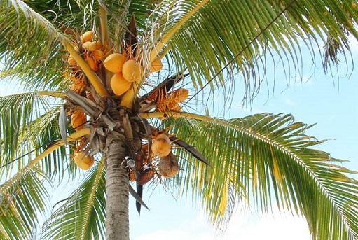 kokosovaia-palma