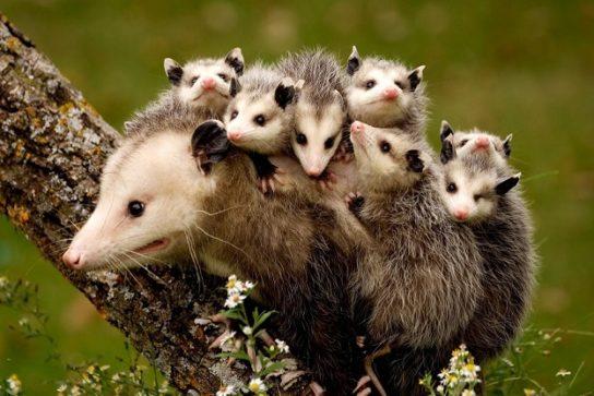 opossumi