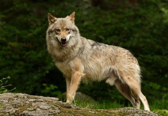 чем питается волк - фото 2