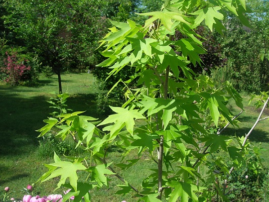 амбровое дерево