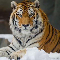 amurskiy-tigr