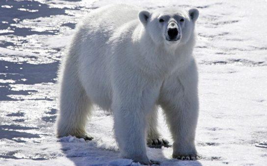 beliy-medved