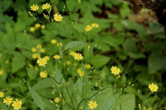 Бородавник - фото растения