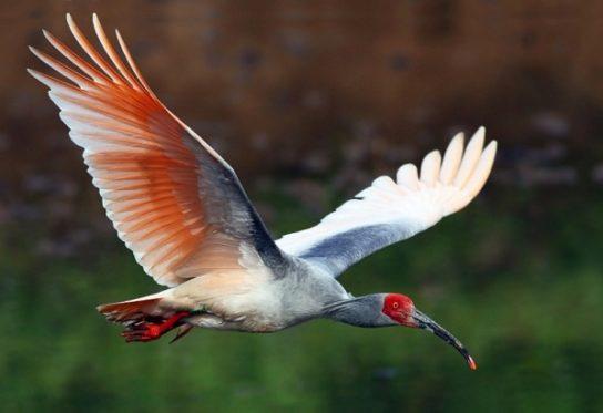 krasnonogiy-ibis