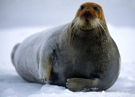 morskoy-zaiac