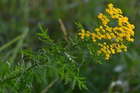 растение пижма - фото