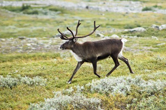 фото северного оленя