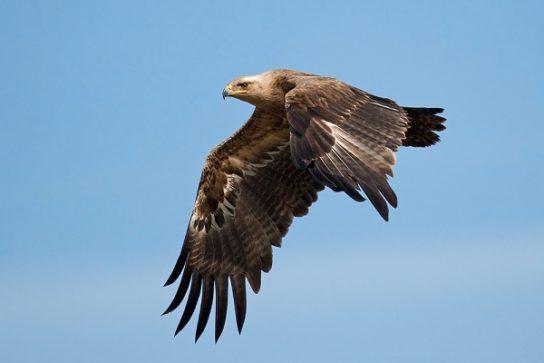где обитает степной орел