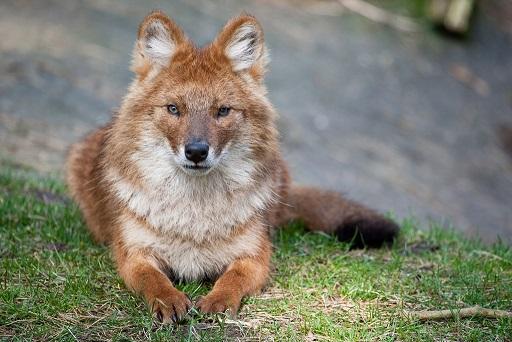 красный горный волк