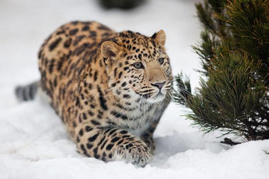 фото амурского леопарда