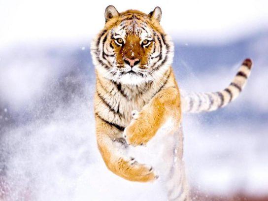 описание Амурского тигра