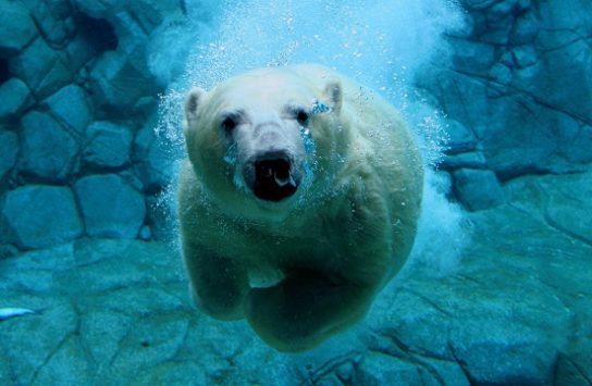 характер белого медведя