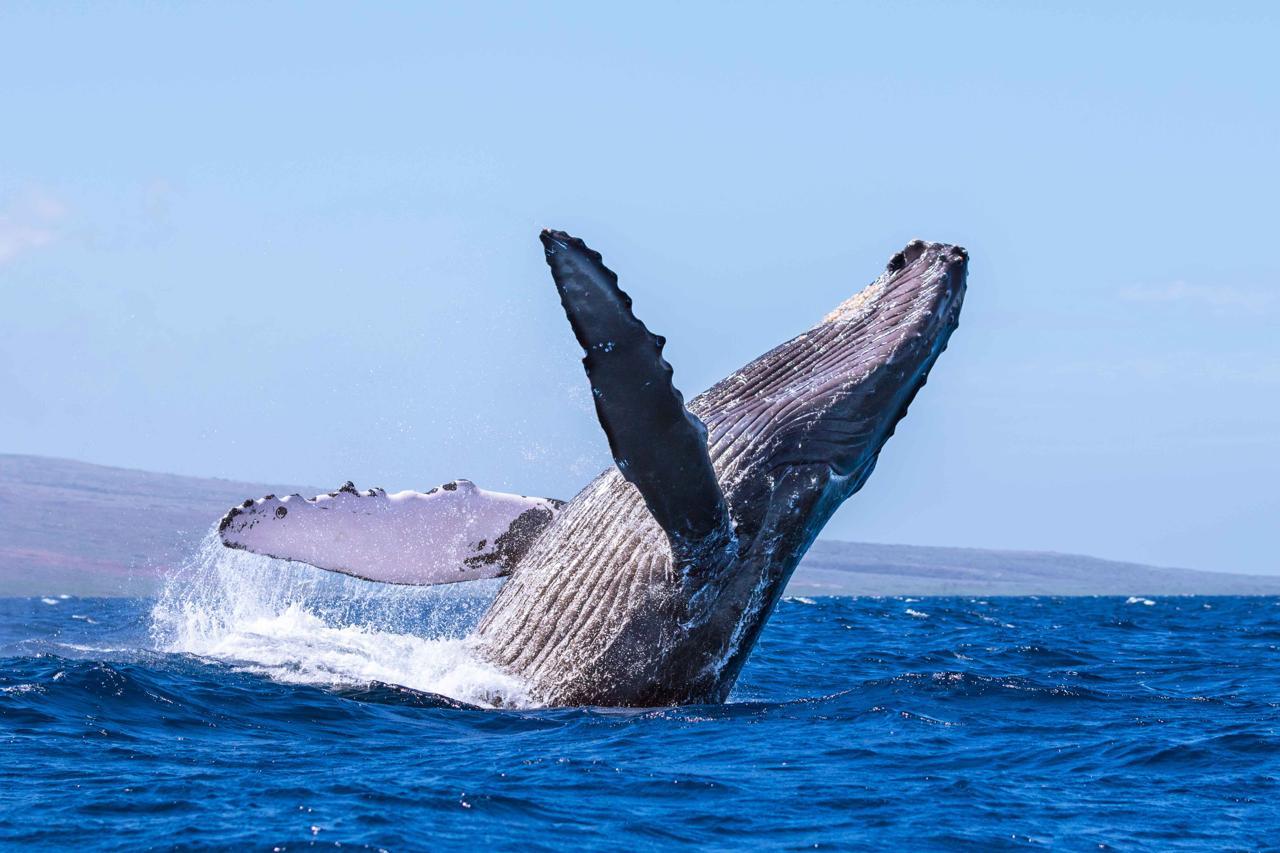 сазана горбатые киты фото позволит