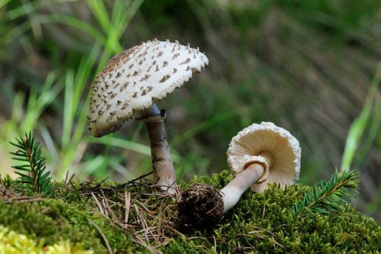 особенности гриба зонтик девичий
