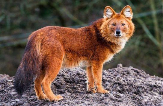 чем питается волк - фото 8