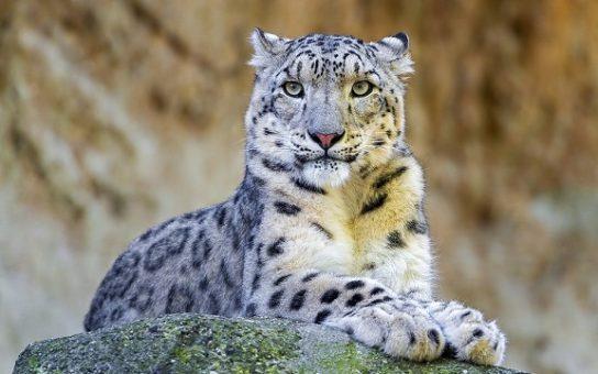 Снежный барс Ирбис – фото и описание животного, Красная книга ...