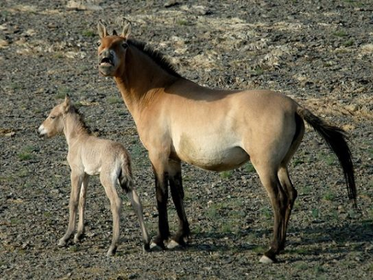 лошадь Пржевальского с жеребенком