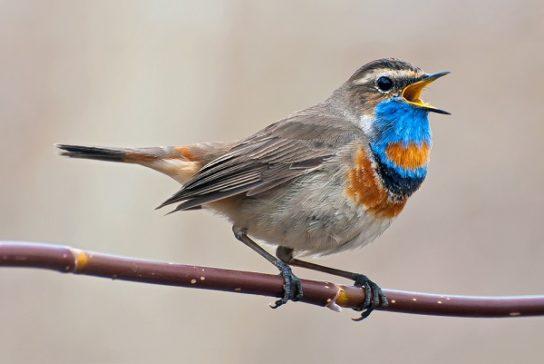 Птица варакушка