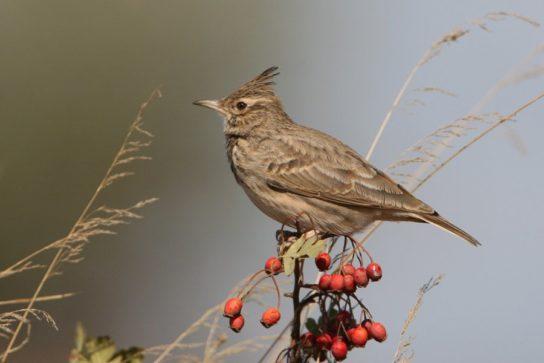 Певчие птицы России – названия и фото