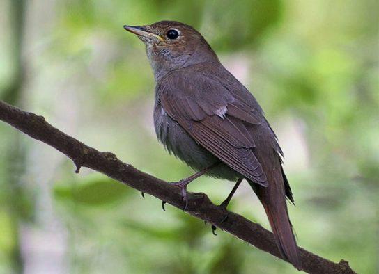 Какие птицы улетают на Юг. Какие птицы прилетают на зиму. Виды птиц фото и названия    Иволга улетает на юг