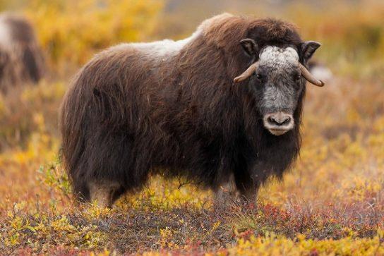 овцебык - фото и описание