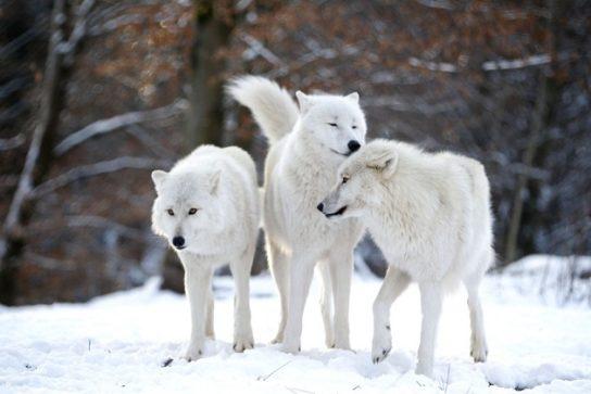 где обитают полярный волки