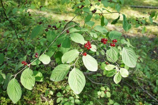 Ядовитые растения курской области