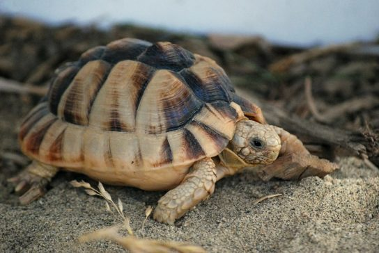 фото египетской черепахи