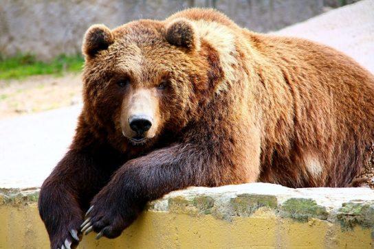 медведь гризли - фотография
