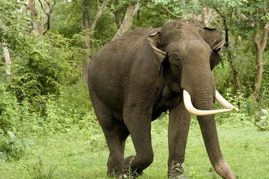 описание индийского слона