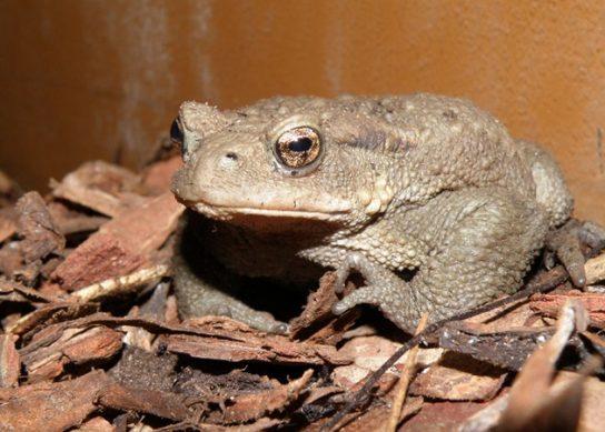 кавказская жаба- фото 1