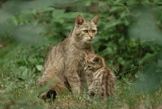 Кавказская лесная кошка - фото