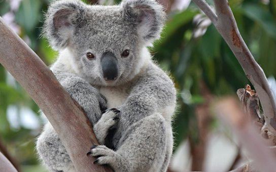 фото коалы