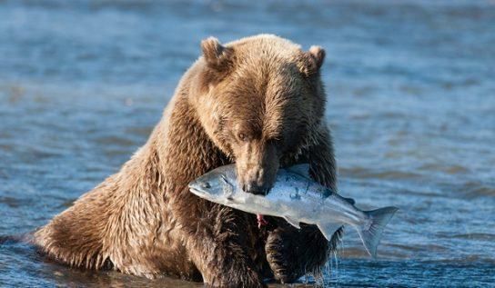 Гризли с рыбой