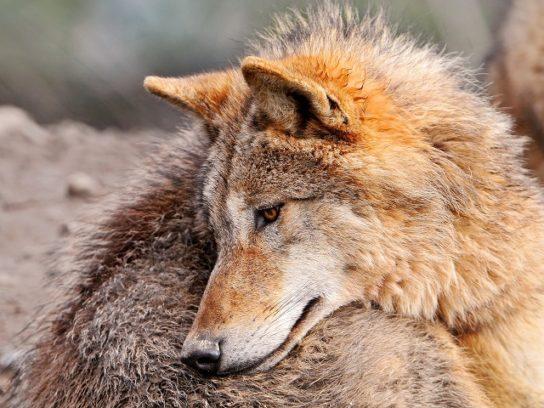 чем питается волк - фото 5