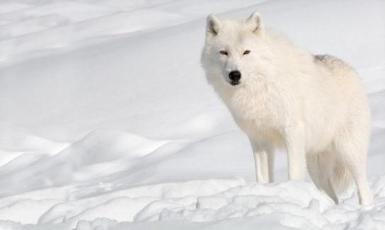 как выглядит полярный волк