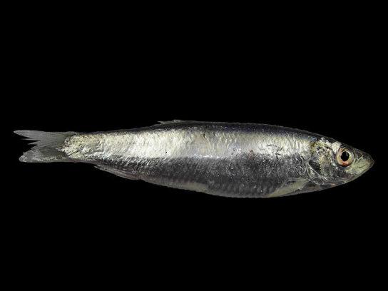 шпрот - рыба