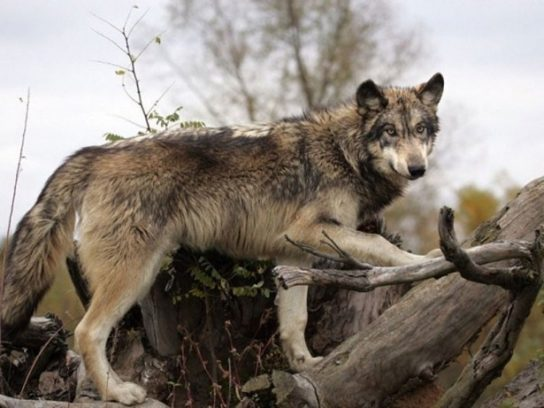 чем питается волк - фото 4