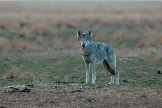 чем питается волк - фото 6