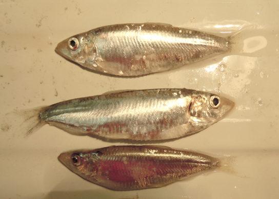 рыба тюлька