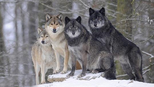 чем питается волк - фото 3