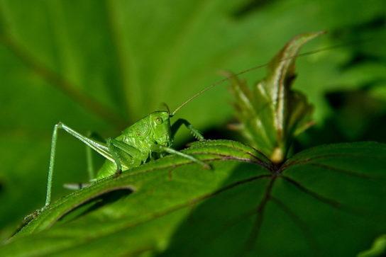 зеленый кузнечик - фото