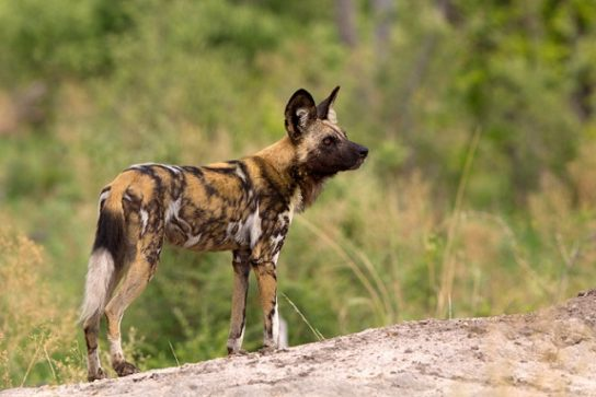 гиеновидная собака - описание