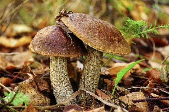 Осенние грибы съедобные в саду растущие