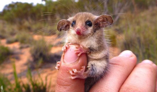 Австралийский карликовый опоссум