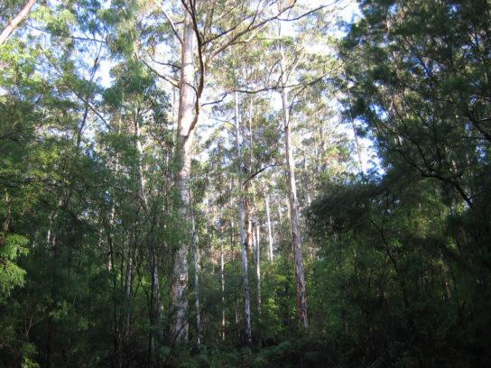 дерево карри - фото 2